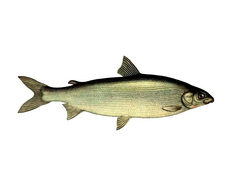 воротам ярмарки рыба сиг ладожский фото нас есть бесплатная