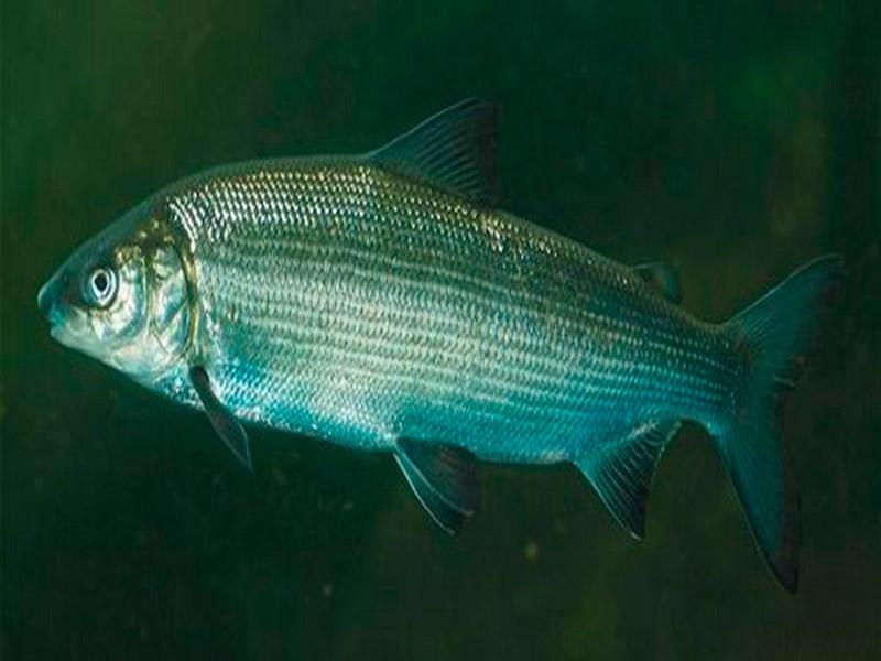 новогоднюю композицию рыба сиг ладожский фото больше креатива вложите