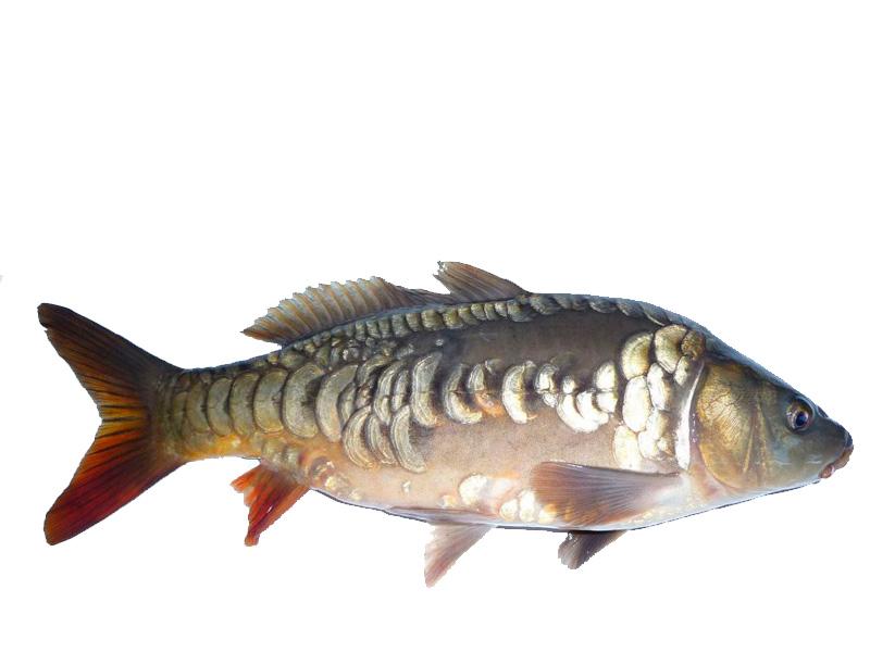 рыбы ростовской области фото с названиями под драйзера